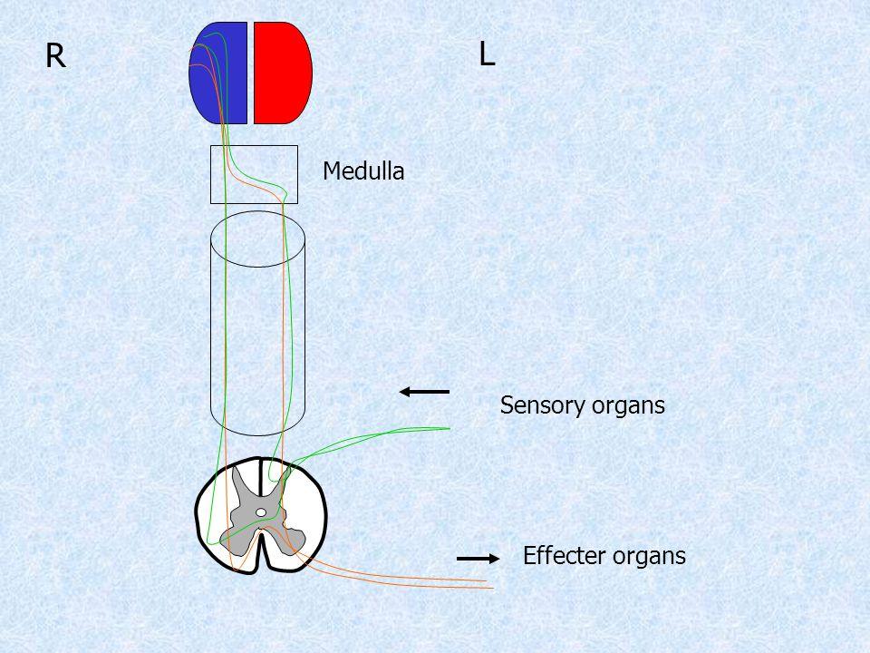 L R Medulla Sensory organs Effecter organs
