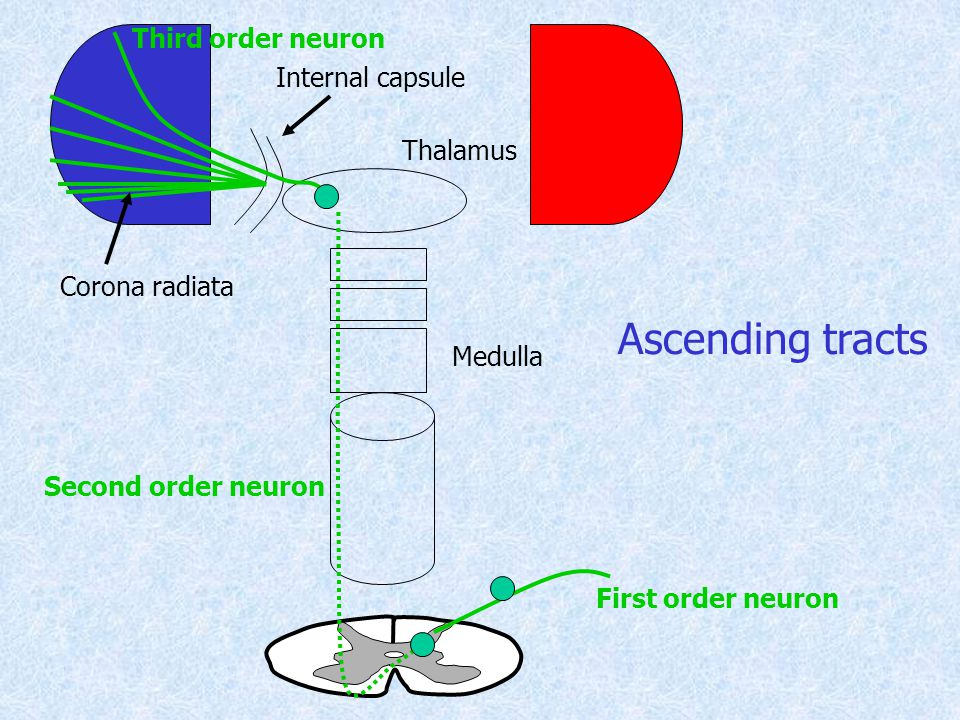 Ascending tracts Third order neuron Internal capsule Thalamus