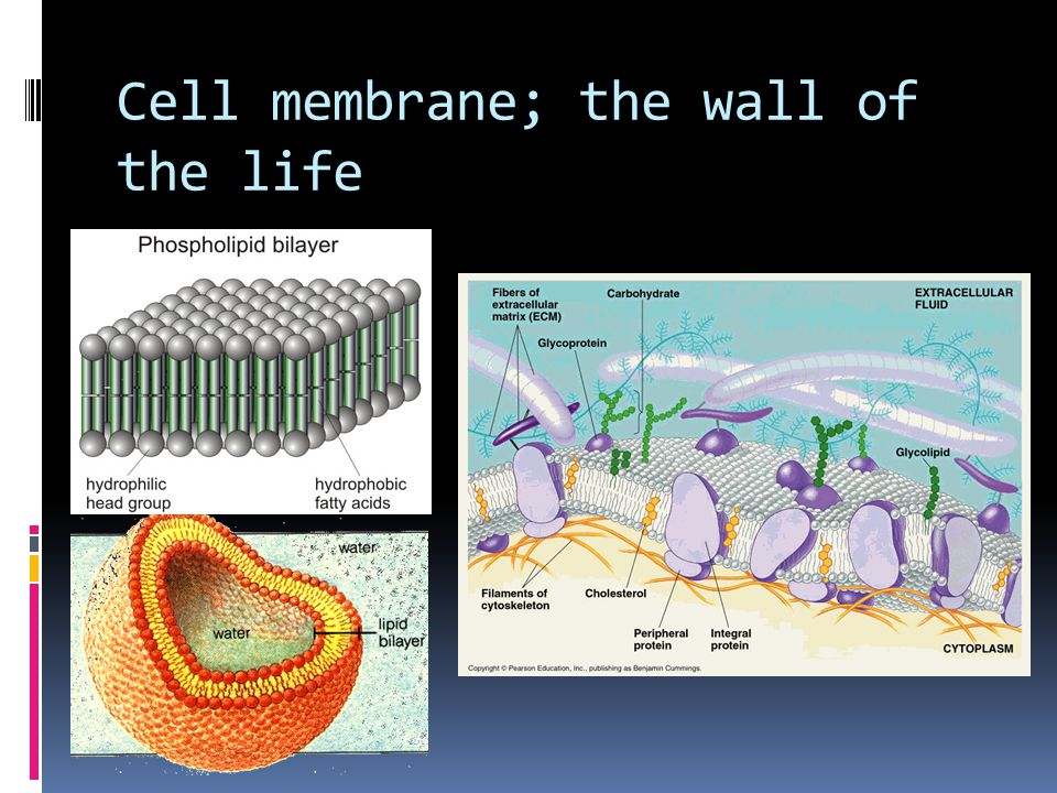 Cell membrane; the wall of the life