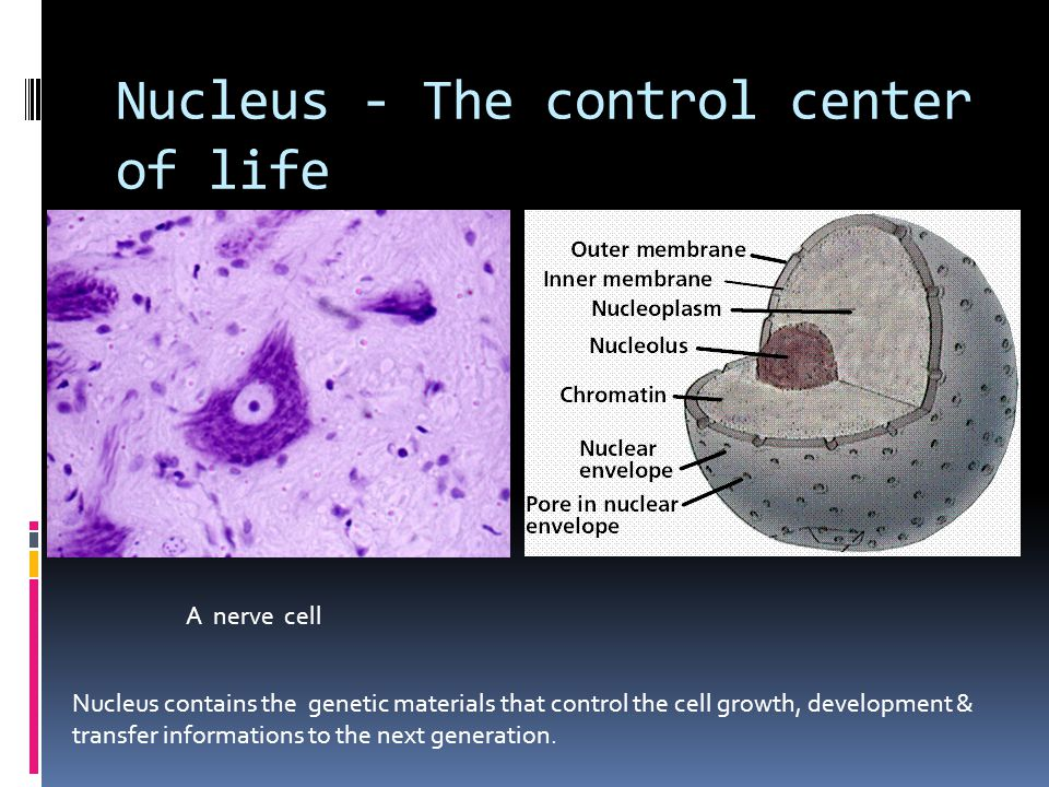 Nucleus - The control center of life