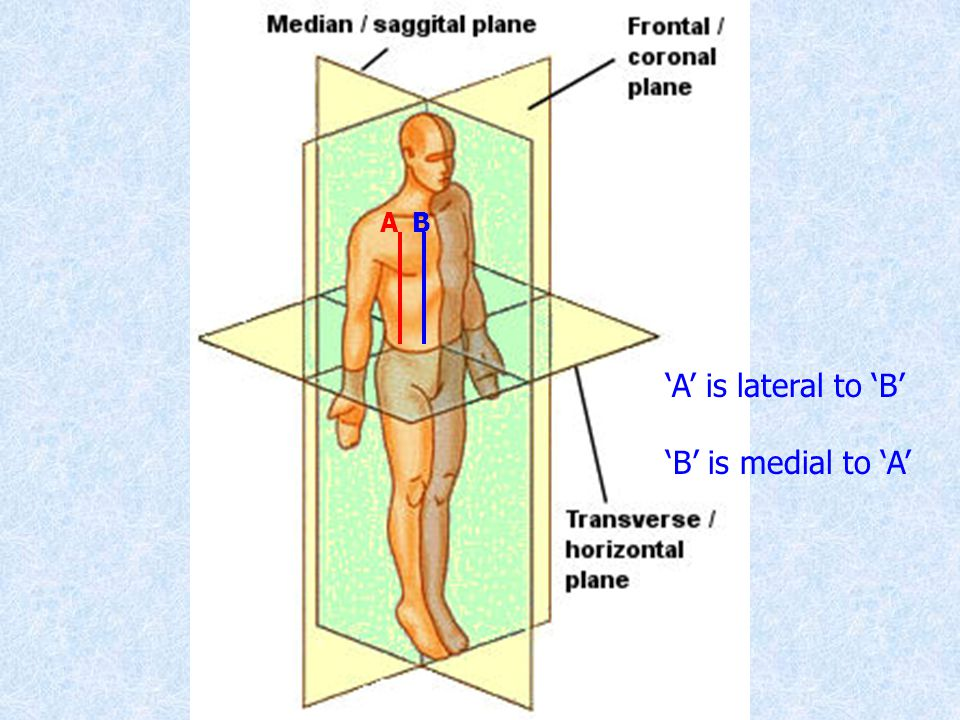A B 'A' is lateral to 'B' 'B' is medial to 'A'