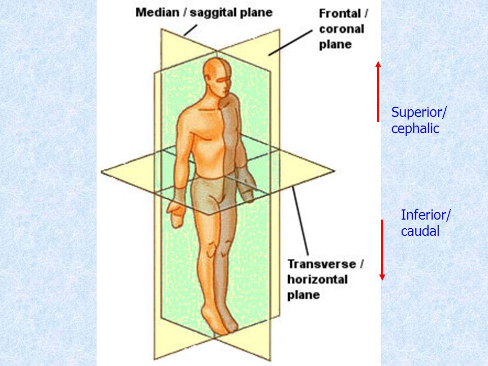 Superior/ cephalic Inferior/ caudal