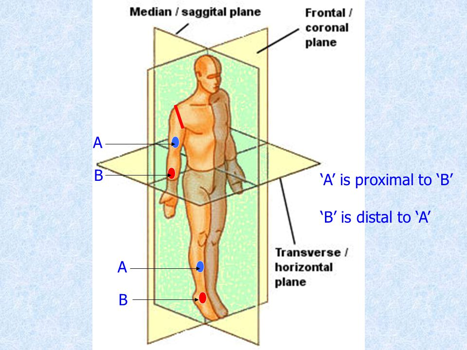 A B 'A' is proximal to 'B' 'B' is distal to 'A' A B