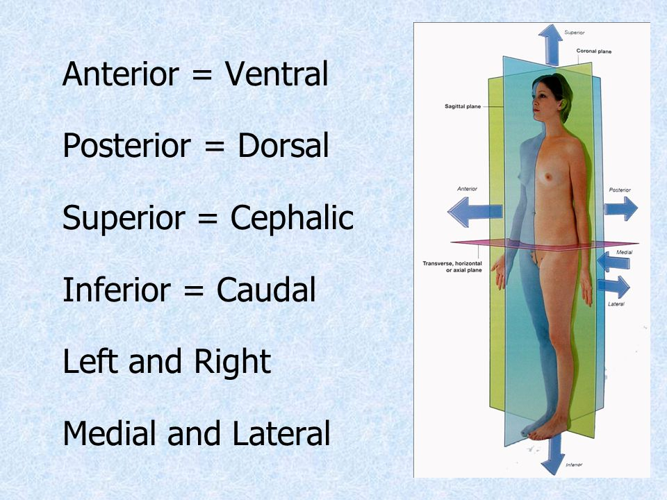 Anterior = Ventral Posterior = Dorsal Superior = Cephalic Inferior = Caudal Left and Right Medial and Lateral