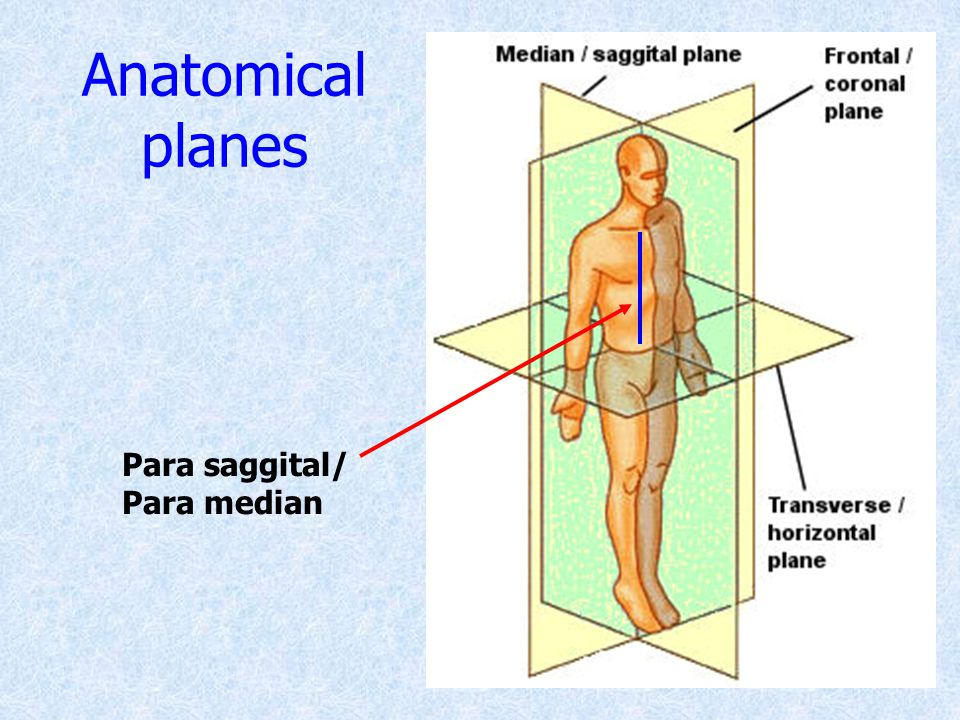 Anatomical planes Para saggital/ Para median