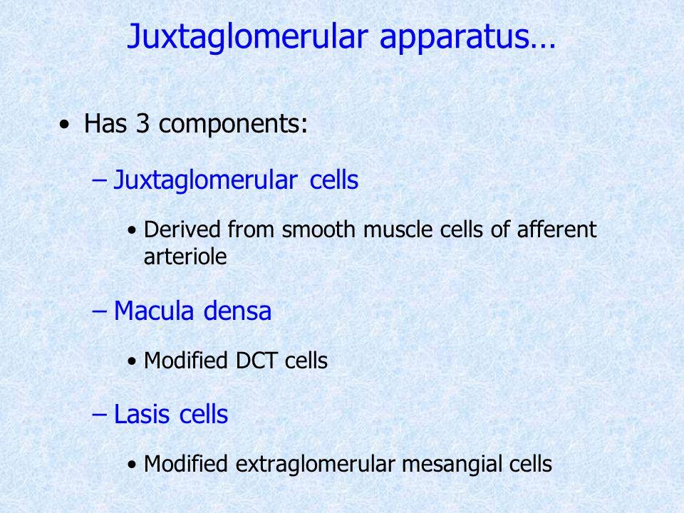 Juxtaglomerular apparatus…