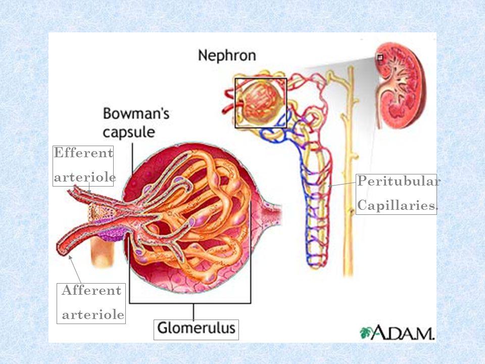 Efferent arteriole Peritubular Capillaries. Afferent arteriole