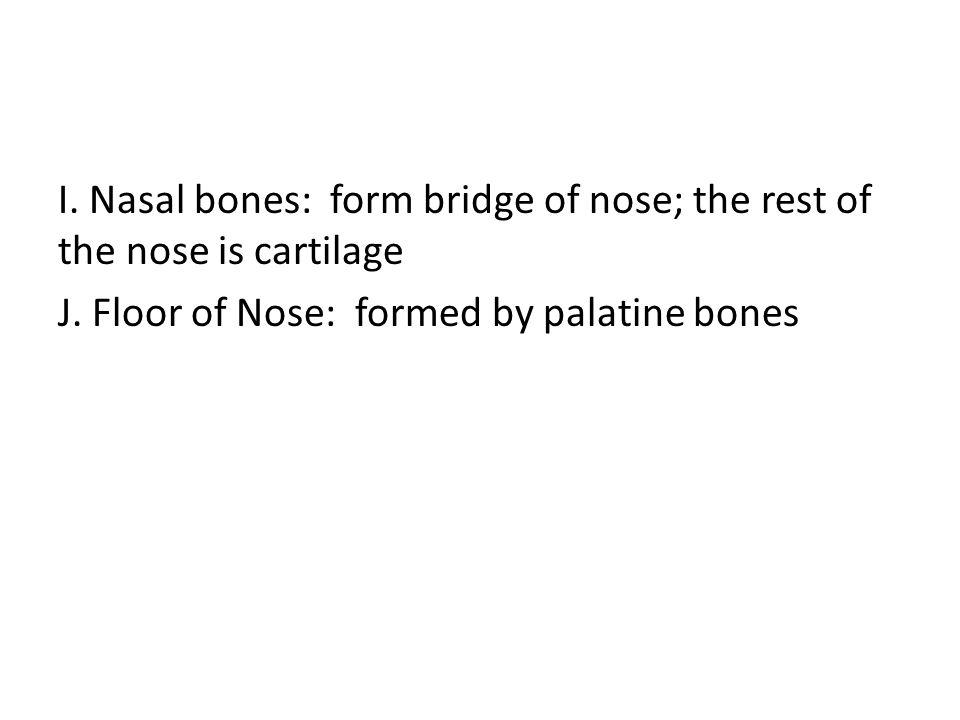 I. Nasal bones: form bridge of nose; the rest of the nose is cartilage