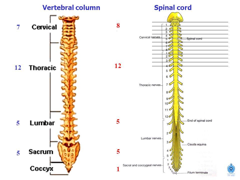 Vertebral column Spinal cord 7 12 5 8 1