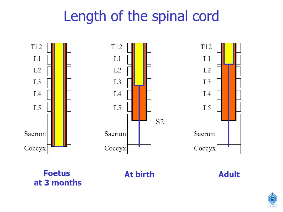 Length of the spinal cord