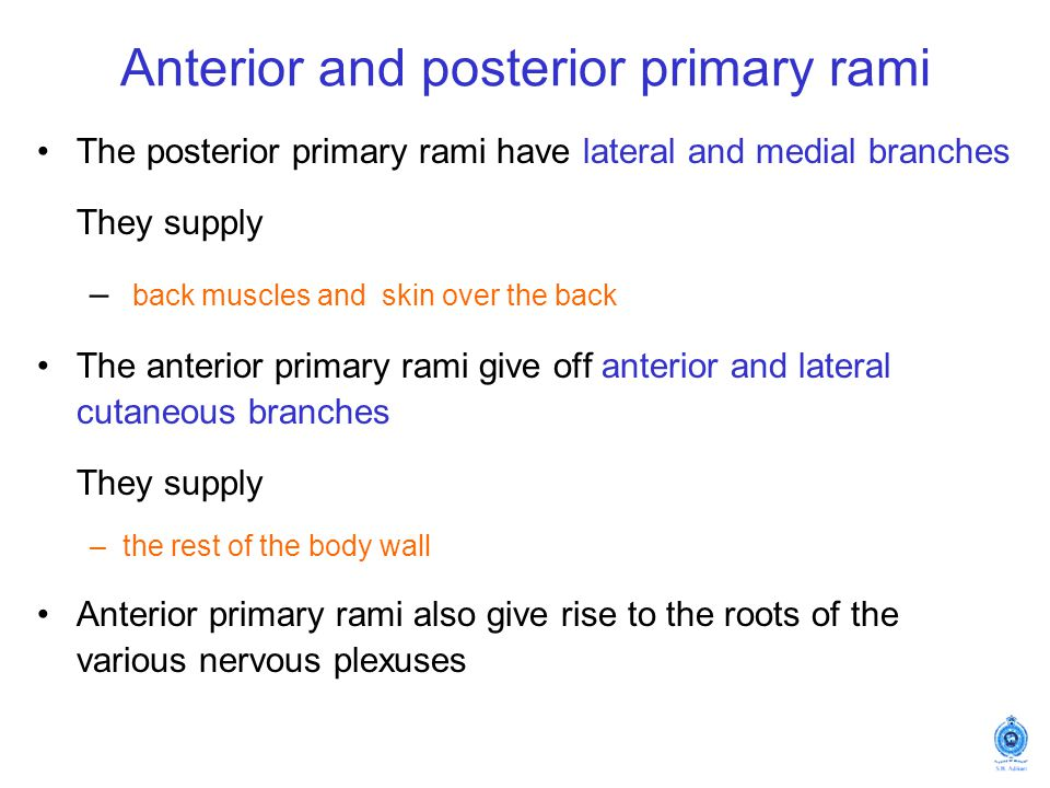 Anterior and posterior primary rami