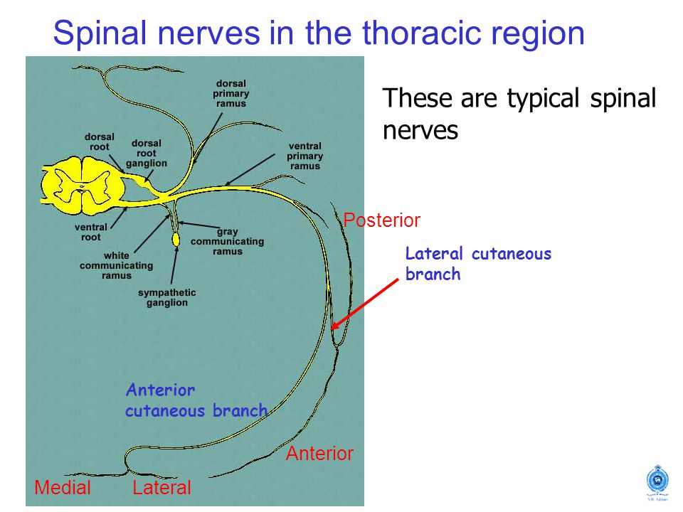 Spinal nerves in the thoracic region