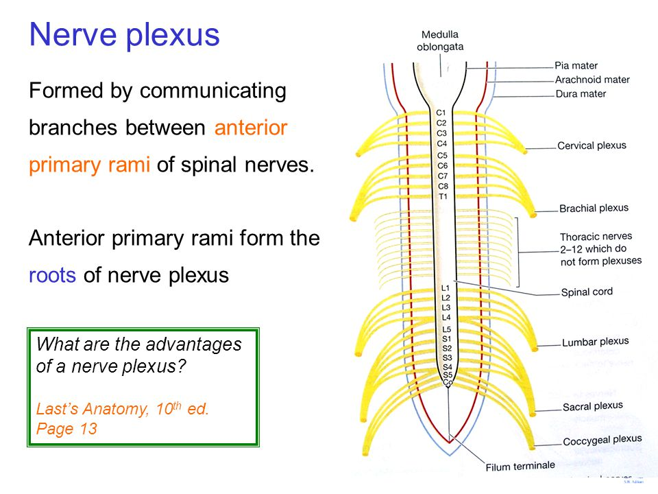Nerve plexus Formed by communicating branches between anterior primary rami of spinal nerves. Anterior primary rami form the roots of nerve plexus.