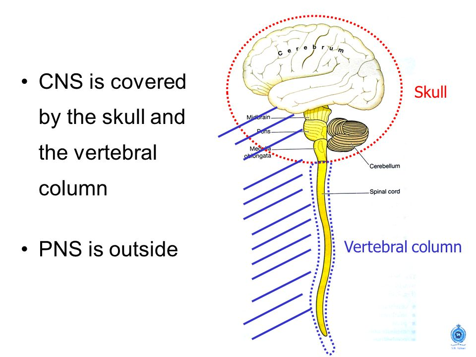 CNS is covered by the skull and the vertebral column