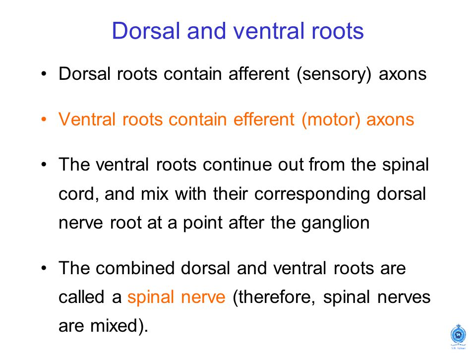 Dorsal and ventral roots