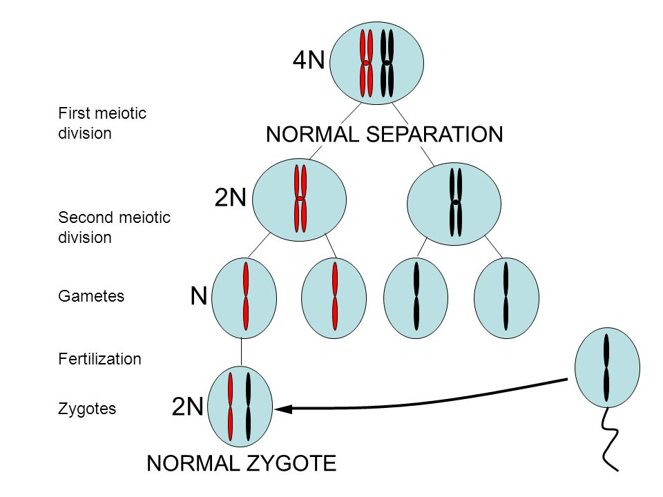 4N 2N N 2N NORMAL SEPARATION NORMAL ZYGOTE First meiotic division