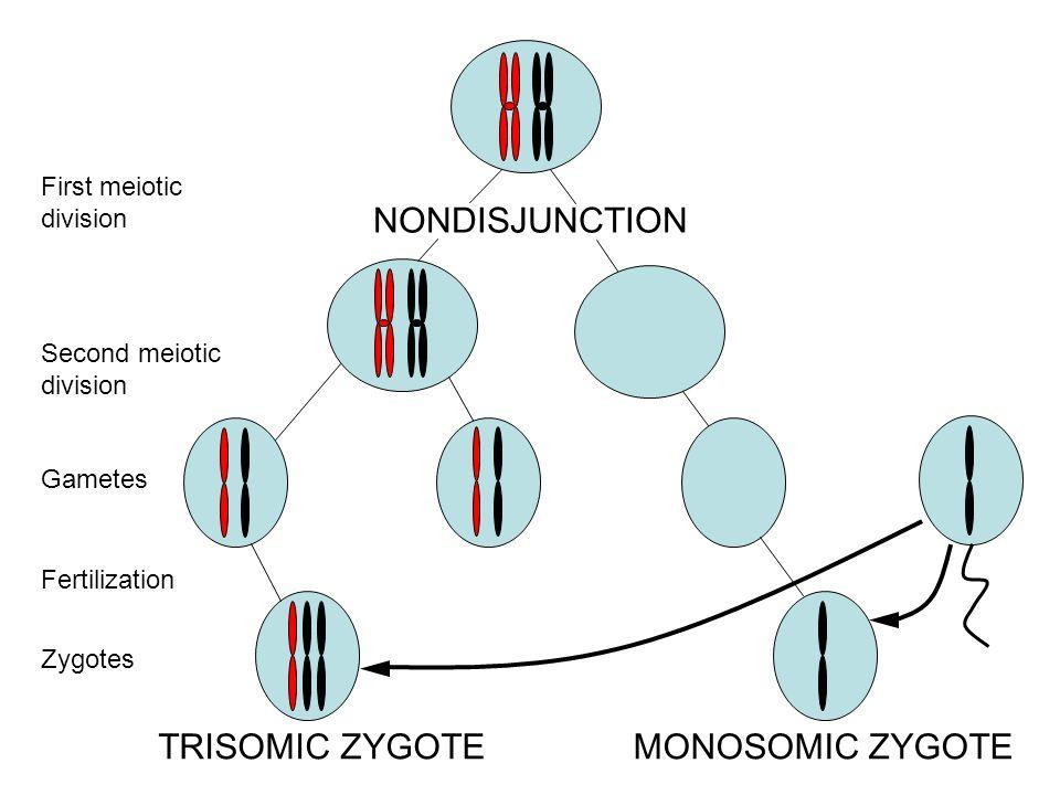 NONDISJUNCTION TRISOMIC ZYGOTE MONOSOMIC ZYGOTE First meiotic division