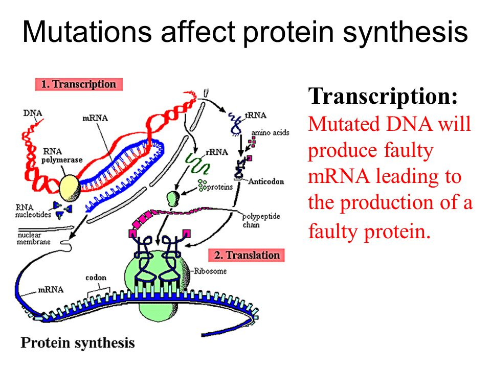 Mutations affect protein synthesis