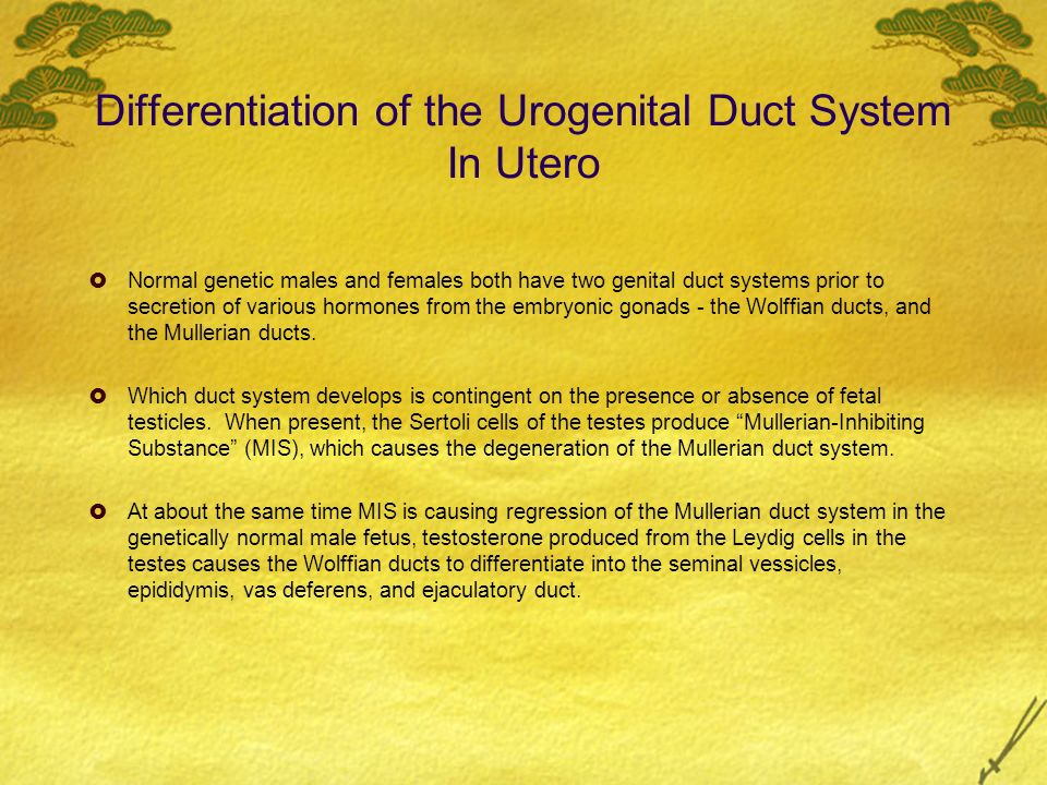 Differentiation of the Urogenital Duct System In Utero