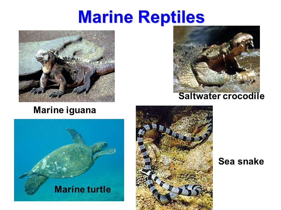 Marine Reptiles Saltwater crocodile Marine iguana