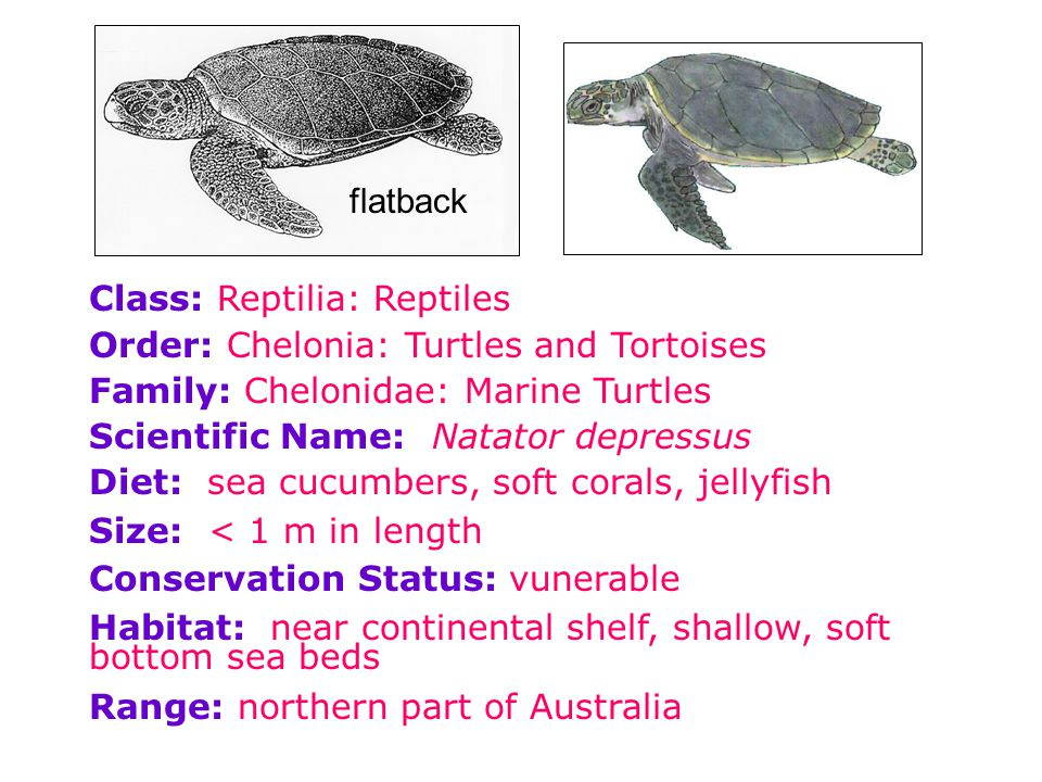 flatback Class: Reptilia: Reptiles. Order: Chelonia: Turtles and Tortoises. Family: Chelonidae: Marine Turtles.