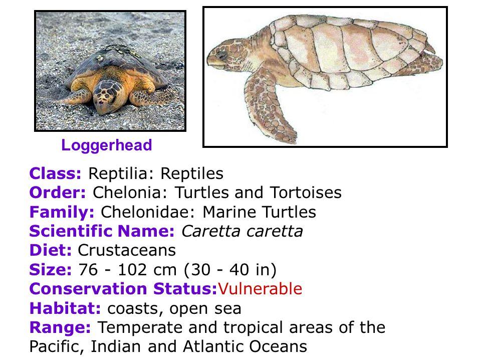 Loggerhead Class: Reptilia: Reptiles. Order: Chelonia: Turtles and Tortoises. Family: Chelonidae: Marine Turtles.