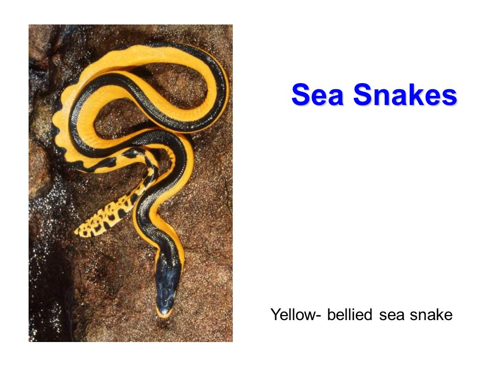 Sea Snakes Yellow- bellied sea snake Sea Snakes