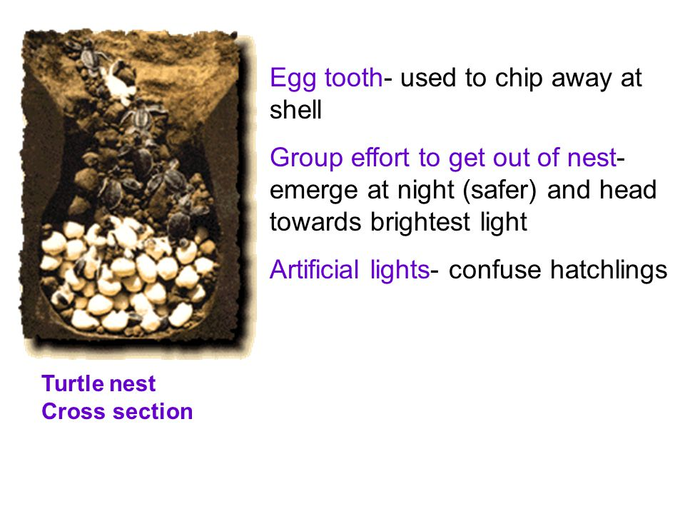 Egg tooth- used to chip away at shell