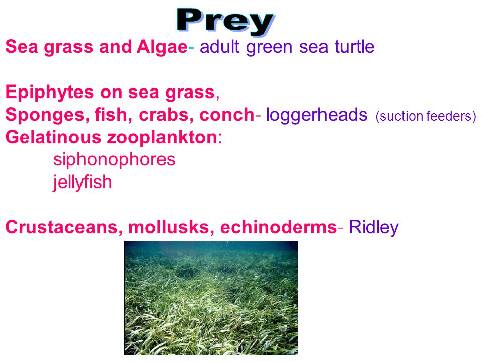Prey Sea grass and Algae- adult green sea turtle