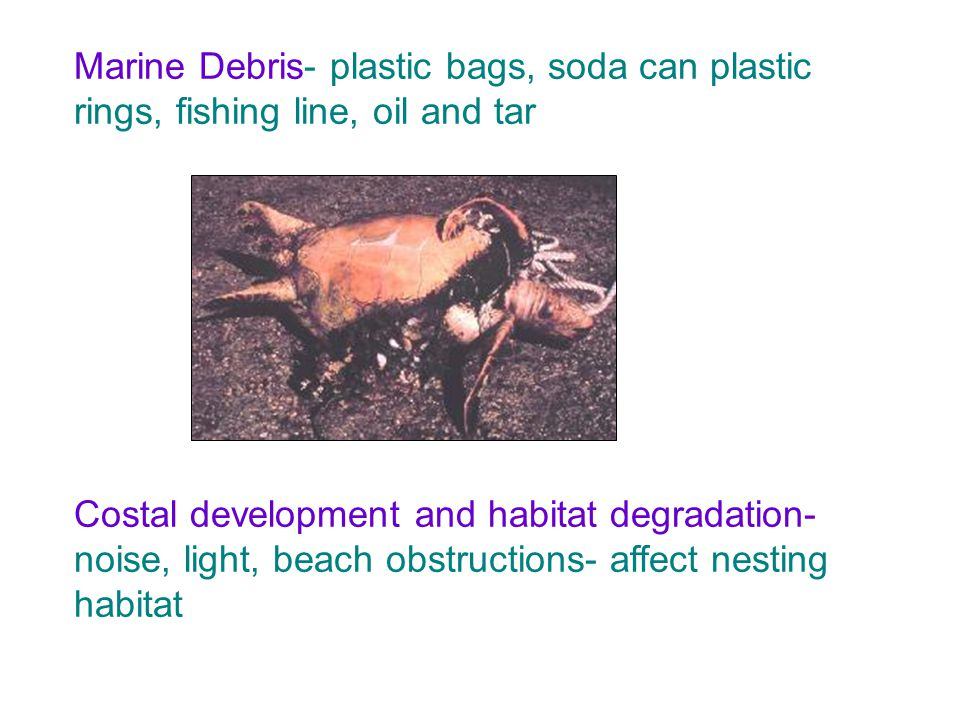 Marine Debris- plastic bags, soda can plastic rings, fishing line, oil and tar