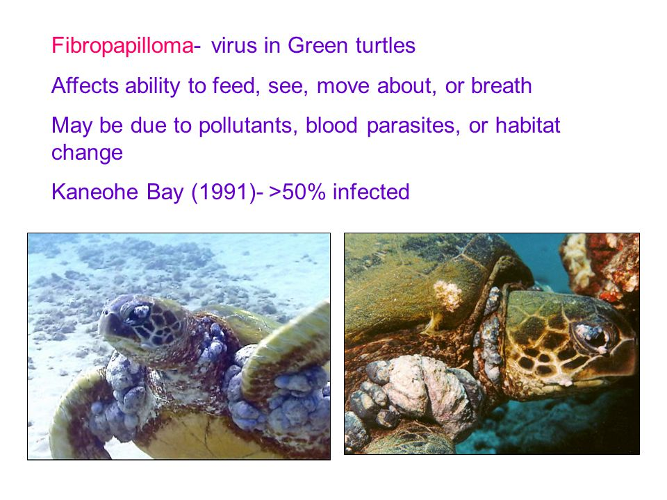 Fibropapilloma- virus in Green turtles