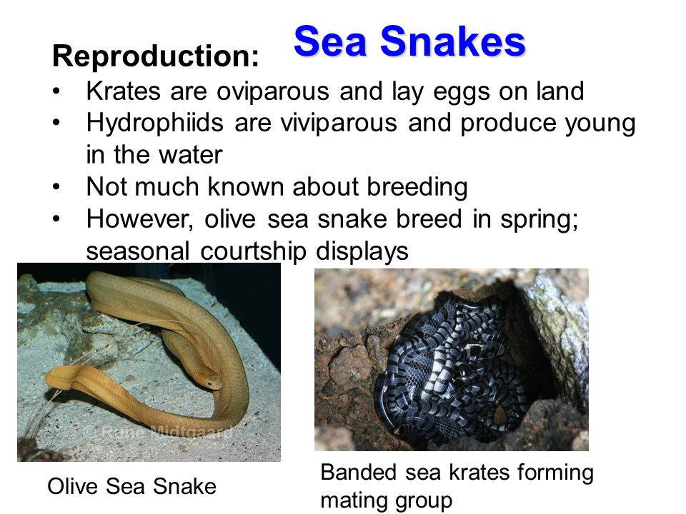 Sea Snakes Reproduction: Krates are oviparous and lay eggs on land