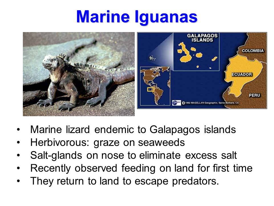 Marine Iguanas Marine lizard endemic to Galapagos islands