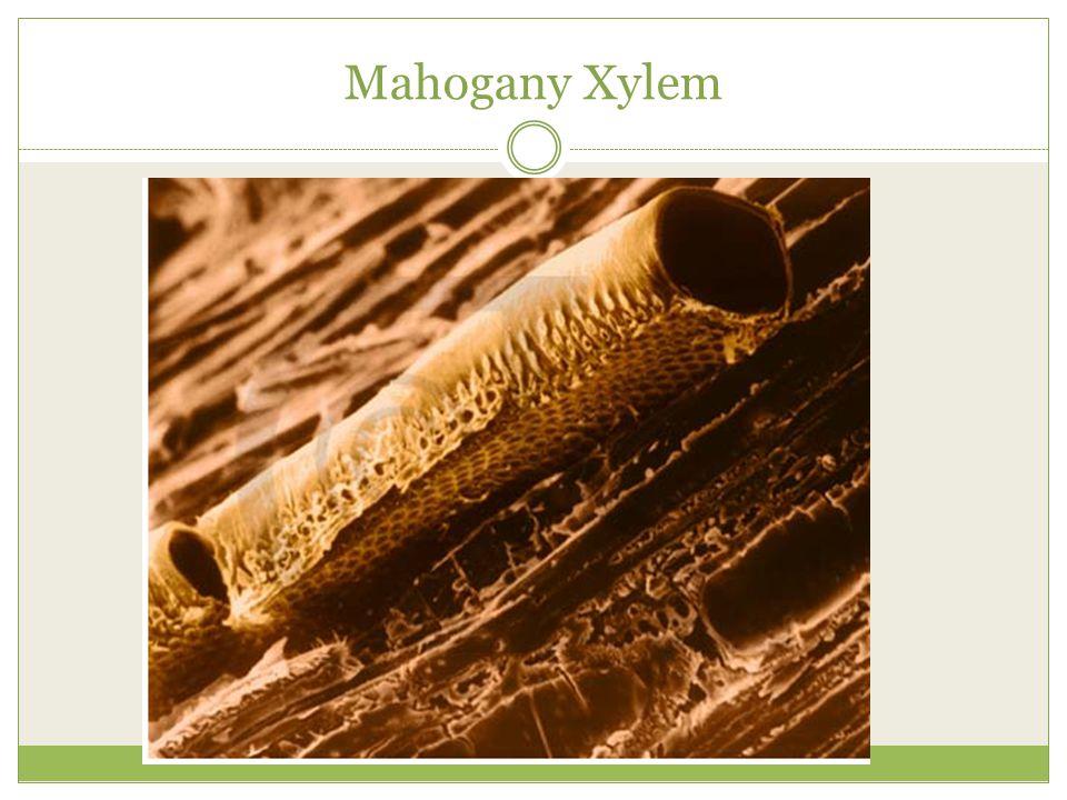Mahogany Xylem
