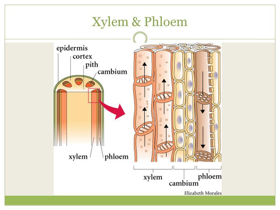 Xylem & Phloem