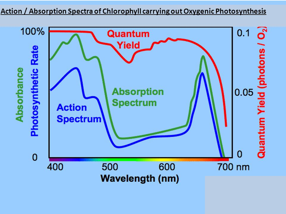 Action / Absorption Spectra of Chlorophyll carrying out Oxygenic Photosynthesis