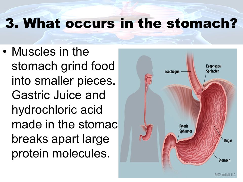 3. What occurs in the stomach