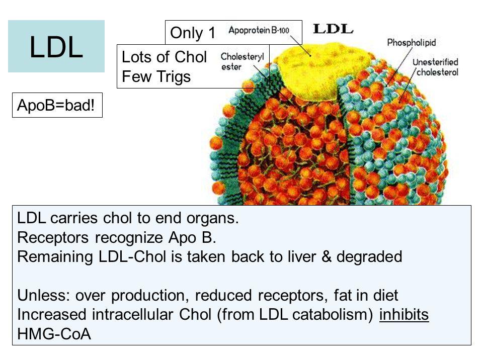 LDL Only 1 Lots of Chol Few Trigs ApoB=bad!