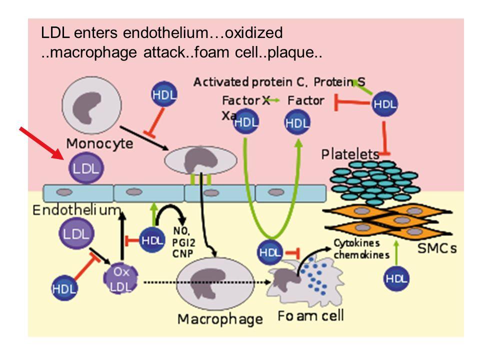 Lipid cycle LDL enters endothelium…oxidized