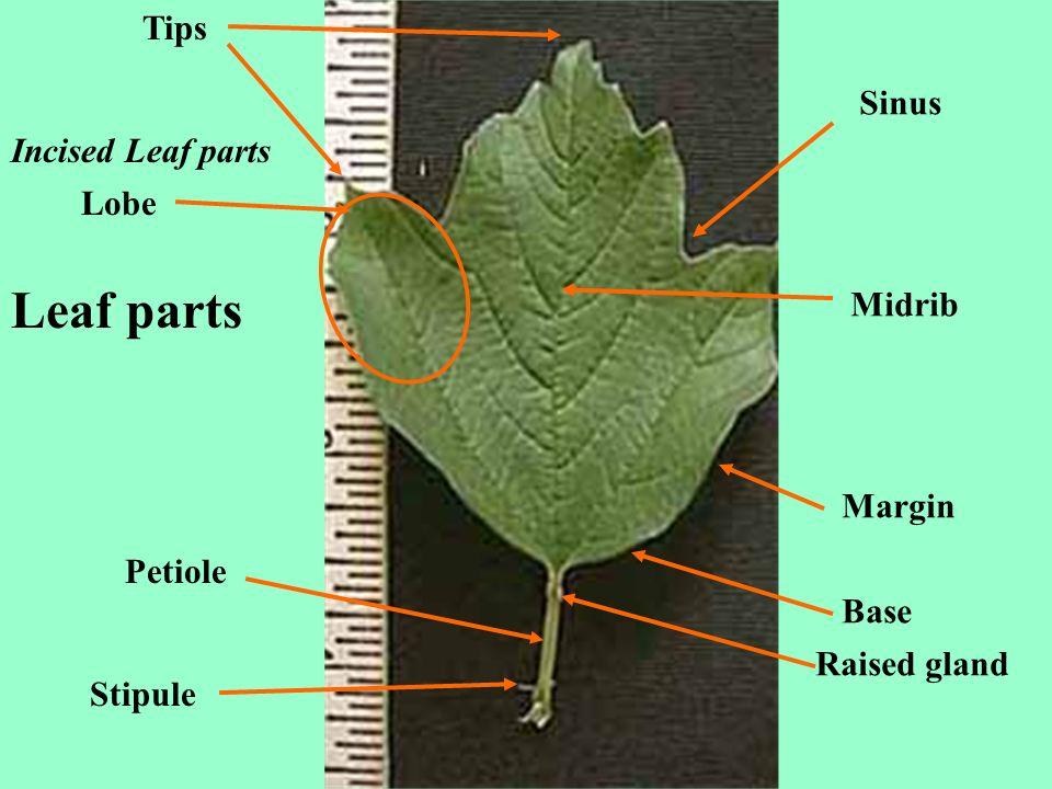 Leaf parts Tips Sinus Incised Leaf parts Lobe Midrib Margin Petiole