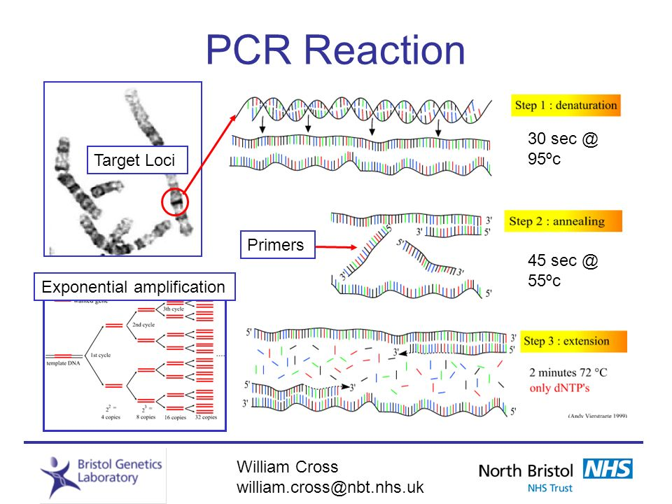PCR Reaction 30 sec @ 95ºc Target Loci Primers 45 sec @ 55ºc