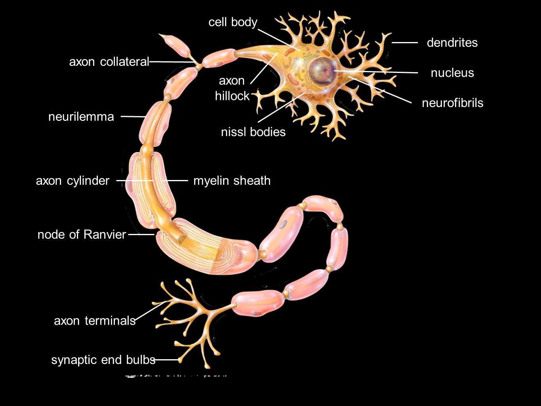 cell body dendrites. axon collateral. nucleus. axon. hillock. neurofibrils. neurilemma. nissl bodies.