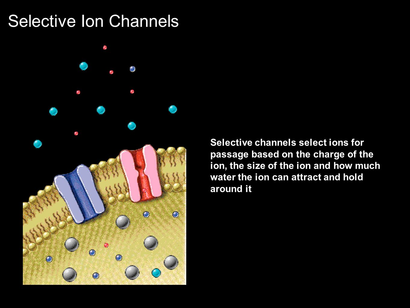 Selective Ion Channels