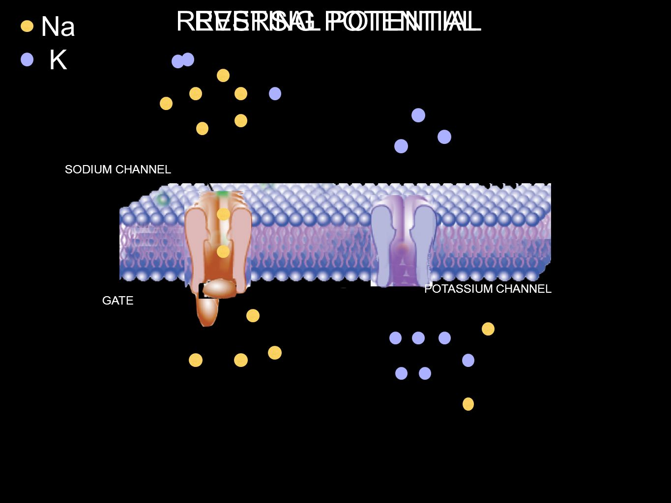 REVERSAL POTENTIAL RESTING POTENTIAL Na K SODIUM CHANNEL