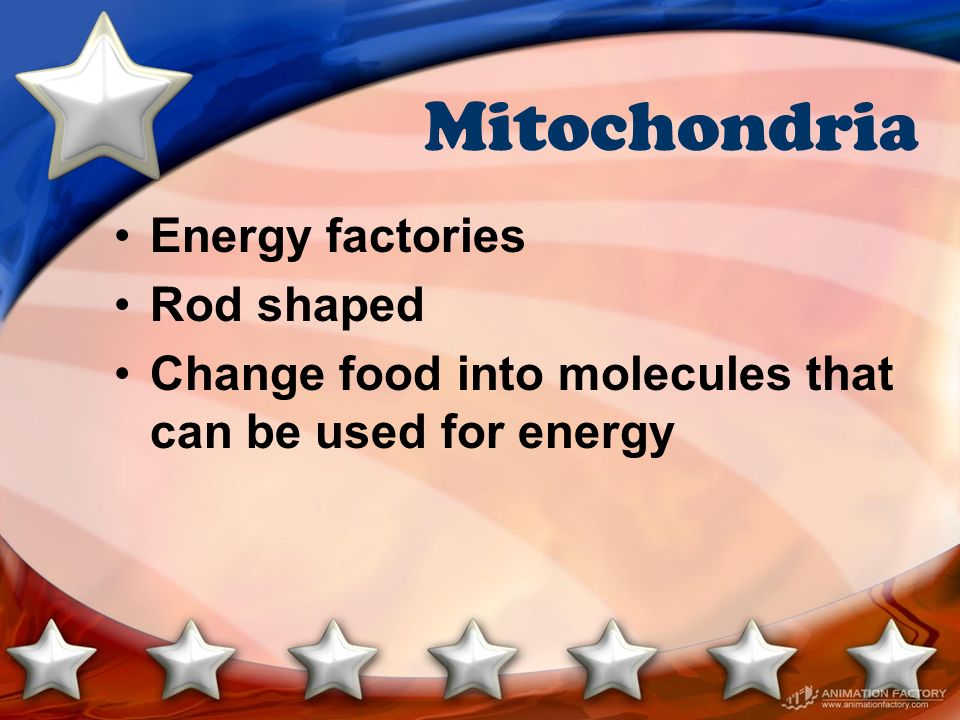 Mitochondria Energy factories Rod shaped