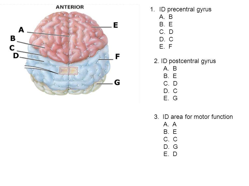 ID precentral gyrus A. B. B. E. C. D. D. C. E. F. 2. ID postcentral gyrus. A. B. B. E.