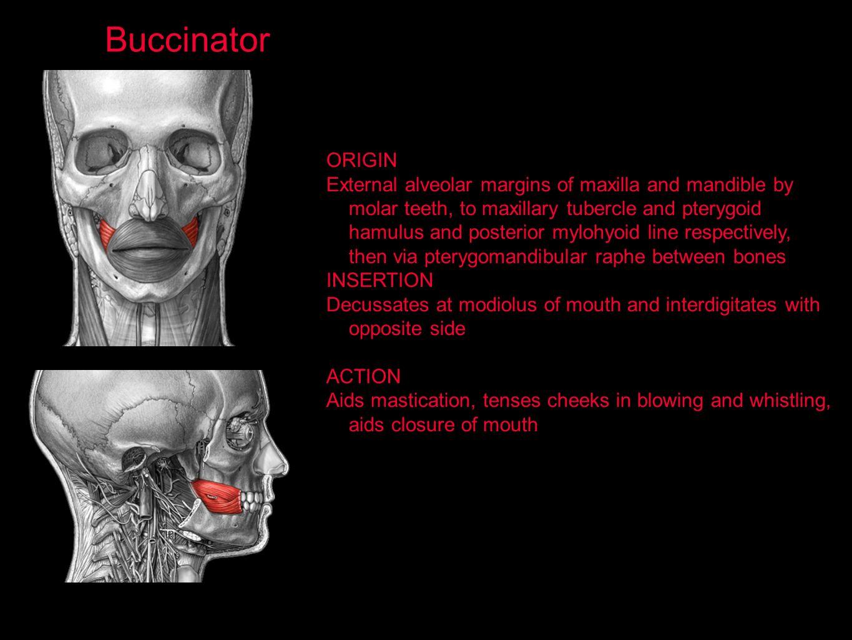 Buccinator ORIGIN.
