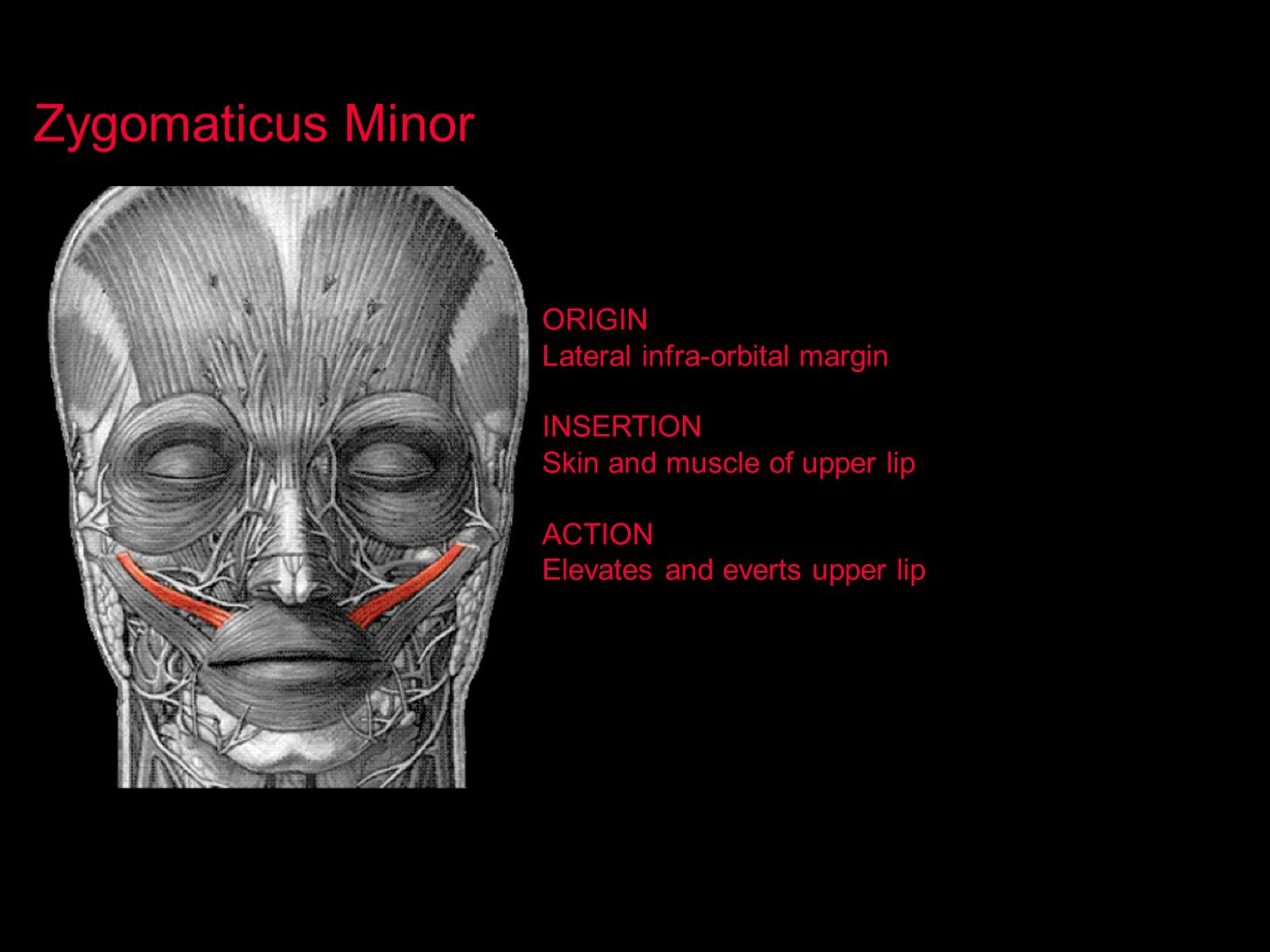 Zygomaticus Minor ORIGIN Lateral infra-orbital margin INSERTION