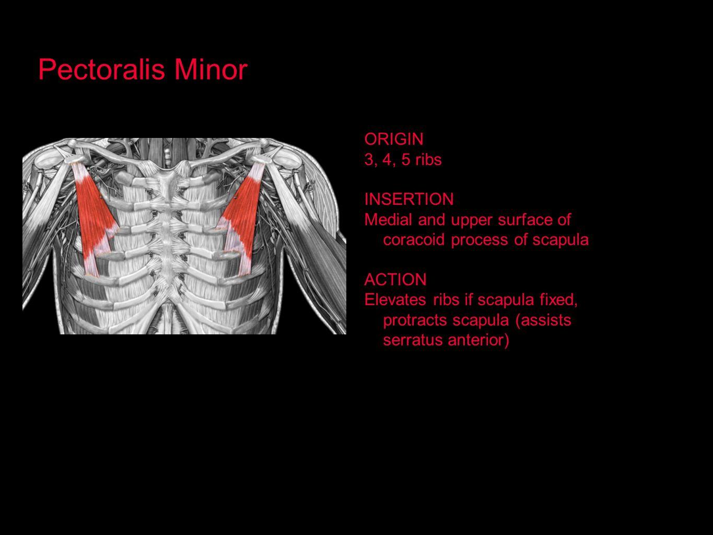 Pectoralis Minor ORIGIN 3, 4, 5 ribs INSERTION