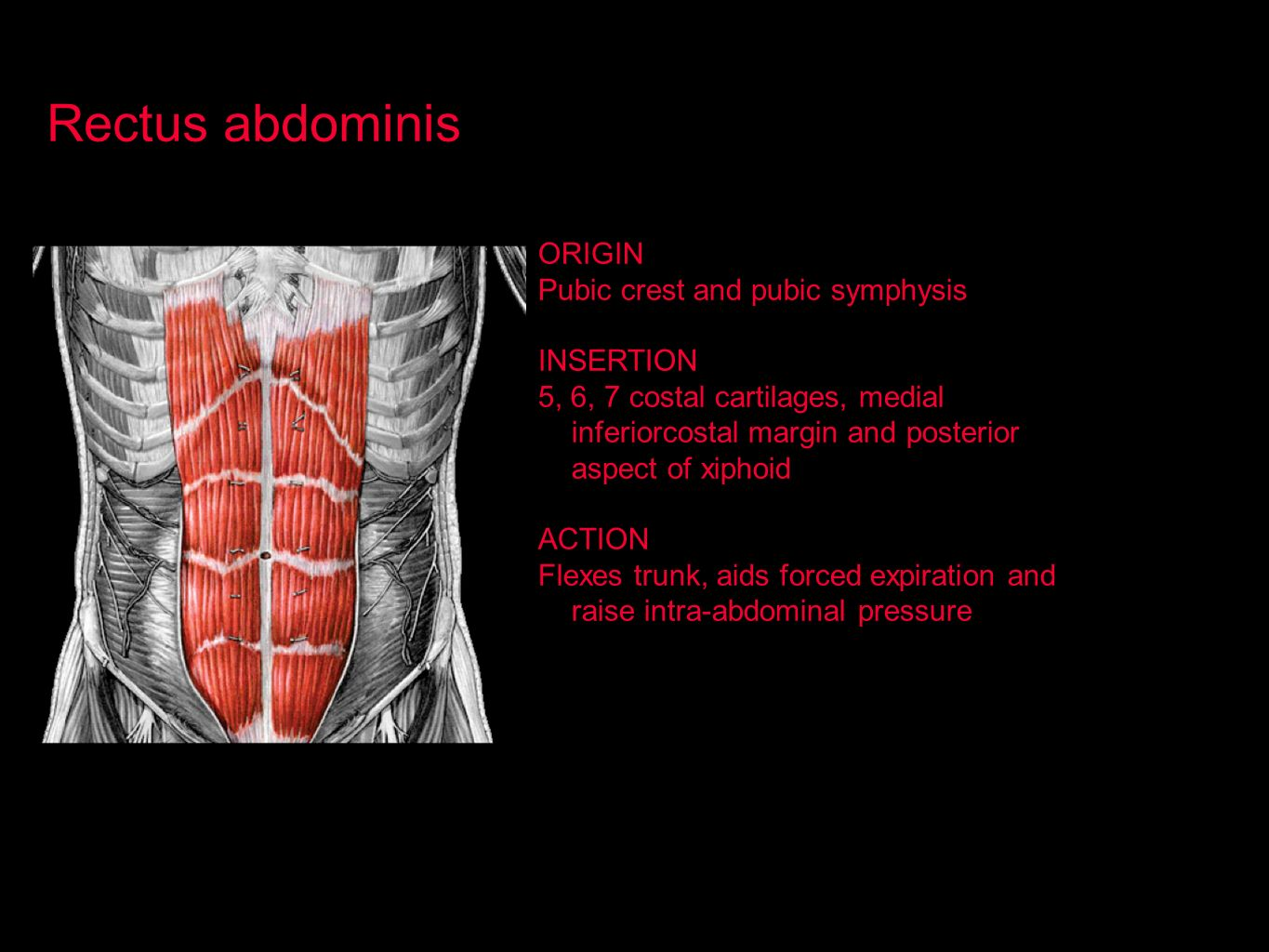 Rectus abdominis ORIGIN Pubic crest and pubic symphysis INSERTION